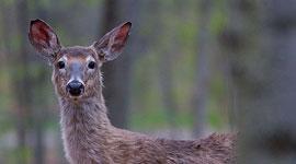 Wild deer, Killbear Provincial Park, Georgian Bay
