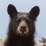 Close black bear portrait, Dead Island, Georgian Bay