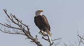 Perched bald eagle, Outer Fox Islands, Georgian Bay