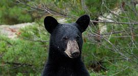 Black bear standing on hind legs, Rogers Island, Georgian Bay