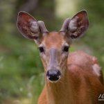 Deer portrait, Big McCoy Island, Georgian Bay